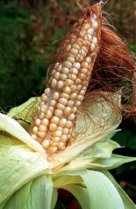 Maize suspected of being contaminated by genetically modified crops of maize., Mexico.