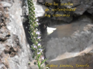 Isidoro Sánche, Tenerife
